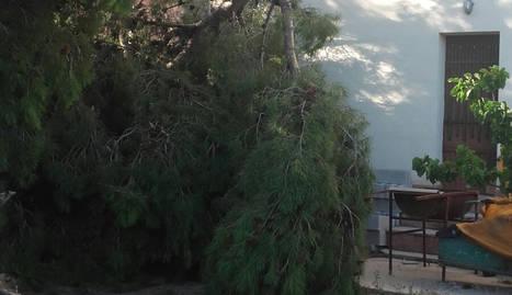 Imatge de l'arbre de grans dimensions que va partir el fort vent a Bovera.