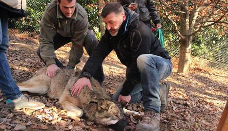 Un dels exemplars de llop gris d'Aran Park.