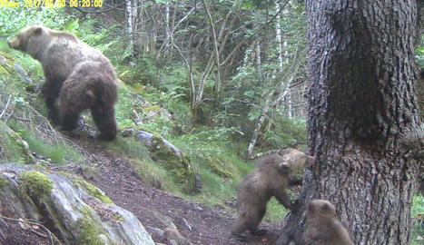 Noves imatges de cadells d'os bru amb la seva mare al Parc Natural de l'Alt Pirineu