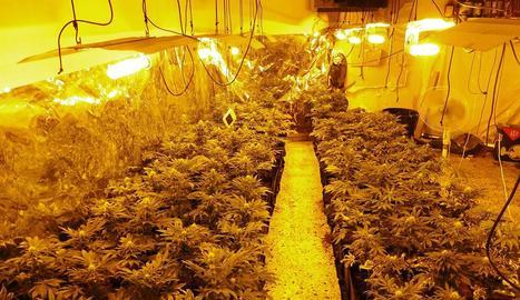 Imatge facilitada pels Mossos en la qual s'observa la plantació de marihuana trobada.
