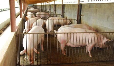 Imatge d'arxiu d'una granja de porcs a Catalunya.