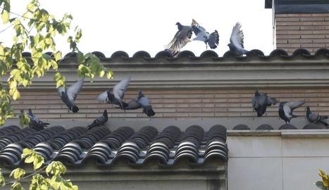 Desenes de coloms reposen diàriament en cases de Ciutat Jardí.