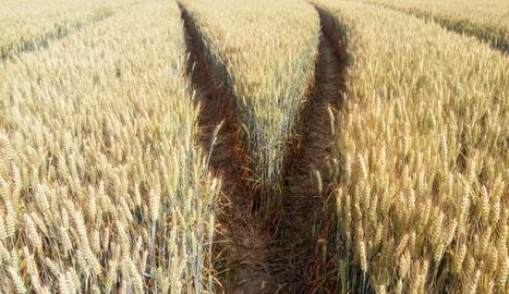 Les roderes del tractor sobre el camp de blat-.