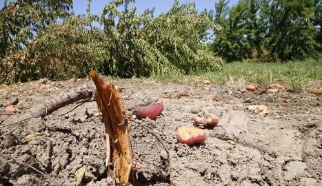 Una plantació de paraguaians de Menàrguens, arrancada sense collir.