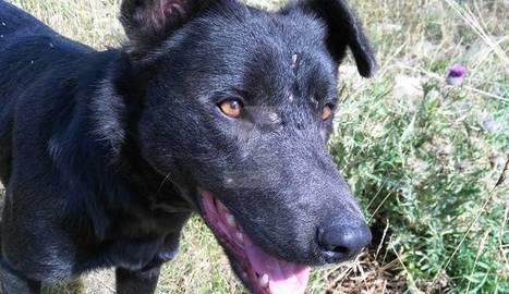 Una imatge del cadell de gos, amb marques al cap.