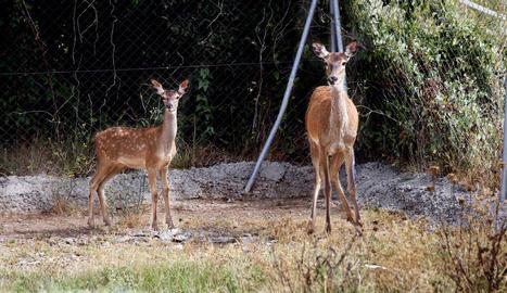 El petit cérvol, a l'esquerra, ahir al costat de la seua mare al centre de fauna de Juneda.