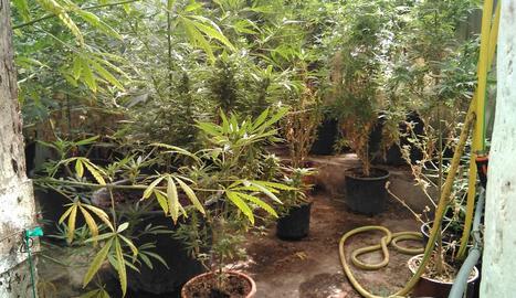 Vista de la plantació de marihuana trobada en un habitatge de Sant Pere dels Arquells.