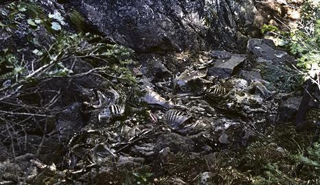 Restes de les 150 ovelles atacades presumptament per un ós el assat dia 8 a Aran.