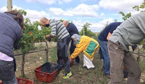 El celler Lagravera d'Alfarràs celebra una verema popular per elaborar un vi solidari
