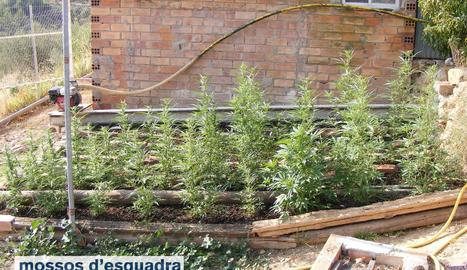 Plantes de marihuana a la finca de Juncosa.