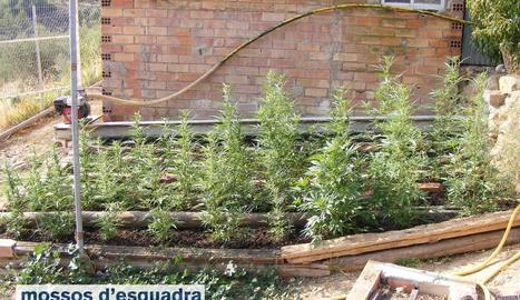 La plantació es trobava en una torre de la partida l'Estepa de Juncosa.