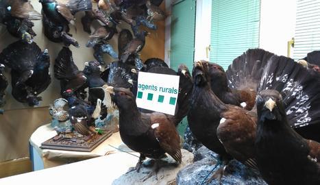 Els galls fers dissecats que han estat decomissats.