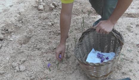 La floració de safrà acaba a les Garrigues amb menys producció