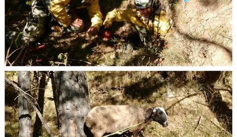 Rescaten dos ovelles que havien caigut per un forat al Solsonès