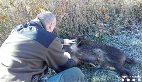 Un agent rural agafa mostres de sang a un senglar.