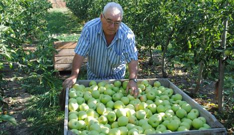 Agricultor collint pomes a Bellvís.