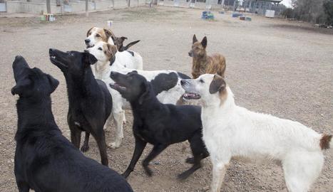 Alguns dels gossos a les instal·lacions de Tàrrega.