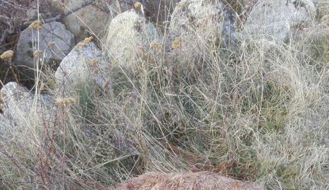 Imatges de dos vedells atacats per una guineu a l'Alt Urgell i a la Cerdanya.