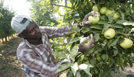 Imatge de l'inici de recollida de poma golden aquest estiu en una finca lleidatana.
