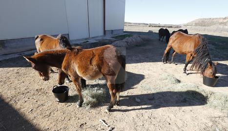 A la finca hi ha vuit equins i cinc són eugues que estan embarassades.