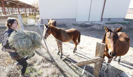 Eva Farran, presidenta d'ARRE, portant ahir alfals als cavalls.