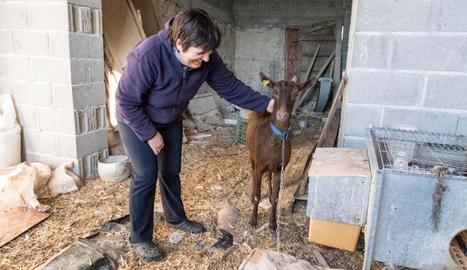 La cabra que va aparèixer a Briançó a la seua nova llar.