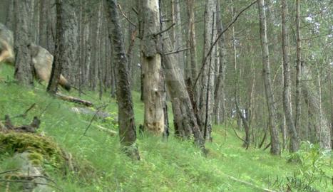 Detectat un llop a la serra del Port del Comte