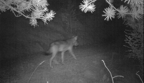Imatge nocturna del llop presa pels tècnics de la Generalitat.