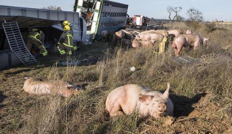 Tallat en un sentit l'Eix a Estaràs al bolcar un camió amb porcs