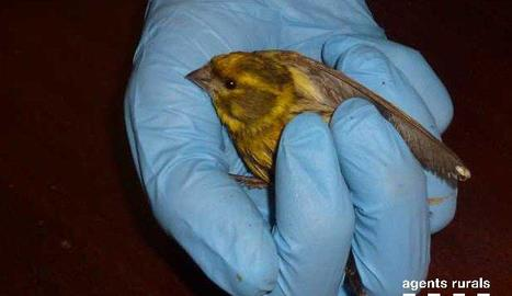 Imatge d'un dels gafarrons rescatats.