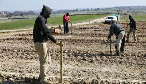 En una sola jornada, dijous passat, es van plantar les sis primeres hectàrees.