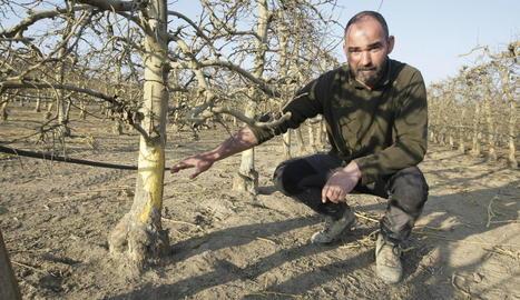 Joan Narcís, agricultor d'Alpicat, ahir a la seua finca al costat d'arbres rosegats pels conills.
