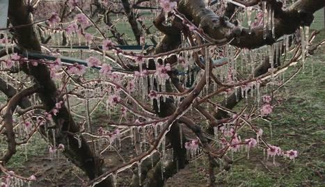 Un arbre gelat a Corbins, en una finca amb reg per aspersió.