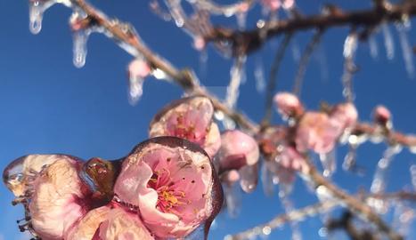 Les gelades s'acarnissen amb els presseguers i els nectariners del Segrià i la Noguera