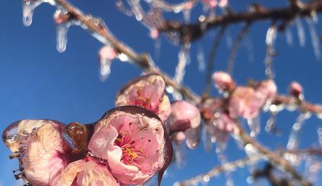 Una flor en què s'aprecien els estralls del fred.