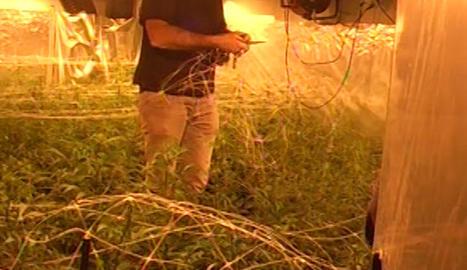 Imatge d'una de les plantacions descobertes en aquesta operació de Mossos i Agència Tributària.