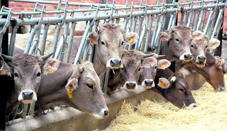 Imatge d'arxiu d'una explotació de boví dirigida a la producció de carn.