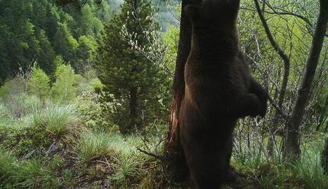 L'ós Nere (a la foto) ha tornat a Aran al cap de dinou anys a França.