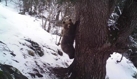 Una femella captada a finals de març al Parc Natural de l'Alt Pirineu