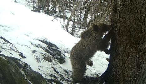 Una sèrie d'imatges captades a finals de març per una càmera que es troba a la zona del Parc Natural de l'Alt Pirineu.