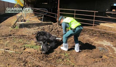 Una de les vaques trobades mortes a l'explotació de Torregrossa.