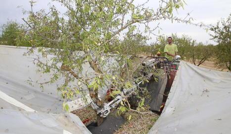 Imatge de recollida d'ametlles a l'inici de la campanya passada a Granyena de les Garrigues.