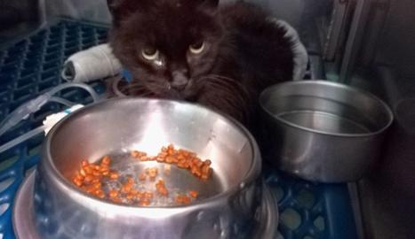 El gat està ingressat en una clínica veterinària.