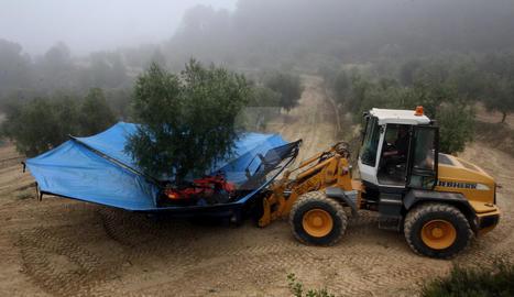 Recollida d'olives.