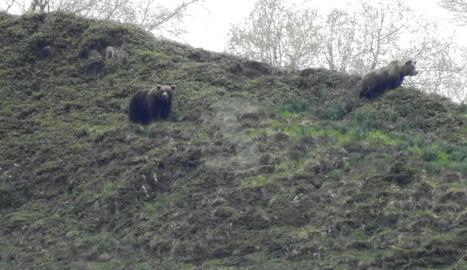 Els dos óssos enregistrats a Bagergue