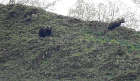 Els dos exemplars d'ós que es van albirar dimecres a prop de Bagergue, a Naut Aran.
