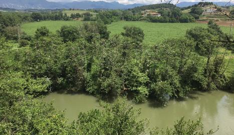 Verneda a la ribera del Ter a les Masies de Voltregà, que acull una important colònia d'ardeids.