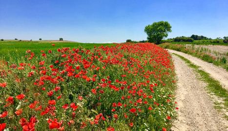 Roselles a la Serra Llarga, a prop d'Algerri. Montserrat Pauné.