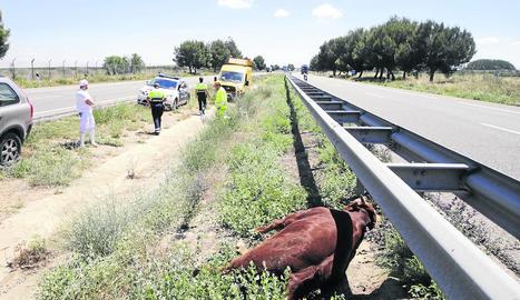 Imatge del vehicle que va xocar contra el vedell, ja abatut, a la dreta de la imatge.