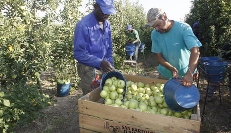 Treballadors collint poma de la varietat golden a Alpicat.